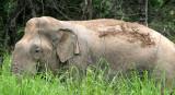 ELEPHANT - ASIAN ELEPHANT - NAM NAO NP - 2004 (10).jpg