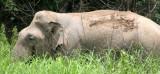 ELEPHANT - ASIAN ELEPHANT - NAM NAO NP - 2004 (15).jpg