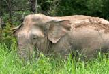 ELEPHANT - ASIAN ELEPHANT - NAM NAO NP - 2004 (5).jpg