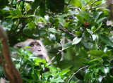 PRIMATE - MACAQUE - CRAB-EATING OR LONG-TAILED MACAQUE - KOH LANTA THAILAND (23).JPG