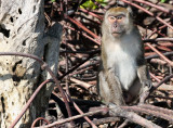 PRIMATE - MACAQUE - CRAB-EATING OR LONG-TAILED MACAQUE - KOH LANTA THAILAND (29).JPG