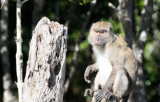 PRIMATE - MACAQUE - CRAB-EATING OR LONG-TAILED MACAQUE - KOH LANTA THAILAND (47).JPG