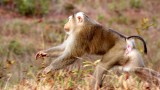 PRIMATE - MACAQUE - PIGTAILED MACAQUE - NORTHERN PIGTAILED MACAQUE - KHAO YAI THAILAND.JPG