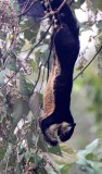 RODENT - SQUIRREL - GIANT BLACK SQUIRREL - KHAO YAI THAILAND (3).JPG