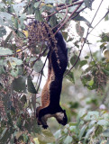 RODENT - SQUIRREL - GIANT BLACK SQUIRREL - KHAO YAI THAILAND (4).JPG