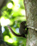 RODENT - SQUIRREL - LOW'S SQUIRREL - SUNDASCIURUS LOWII - KRUNG CHIN NP THAILAND  (11).JPG