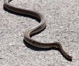 REPTILE - SNAKE - Asiatic Rat Snake- LAMPANG THAILAND (3).JPG