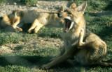CANID - FOX -CRABEATING - BOLIVIA A.jpg