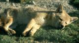 CANID - FOX -CRABEATING - BOLIVIA.jpg