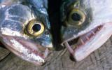 FISH - MAJOR FANGS - AMAZON RIVER.jpg
