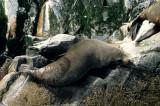 PINNIPEDS - SOUTH AMERICAN FUR SEAL - BEAGLE CHANNEL B.jpg
