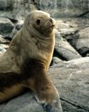 PINNIPEDS - SOUTH AMERICAN SEA LION - BEAGLE CHANNEL.jpg