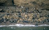 PINNIPEDS - SOUTH AMERICAN SEA LION - PARACAS.jpg