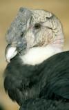 BIRD - ANDEAN CONDOR - BOLIVIA D.jpg