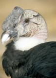 BIRD - ANDEAN CONDOR - BOLIVIA G.jpg