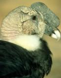 BIRD - ANDEAN CONDOR - BOLIVIA.jpg