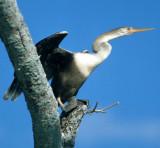 BIRD - ANHINGA - PANTANAL A.jpg