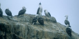 BIRD - BOOBY - PERUVIAN - PARACAS E.jpg