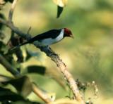 BIRD - CARDINAL - REDHEADED - PANTANAL.jpg