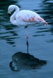 BIRD - CHILEAN FLAMINGO - BOLIVIA.jpg
