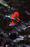 BIRD - COCK OF THE ROCK - ANDEAN - PERU B.jpg
