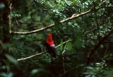 BIRD - COCK OF THE ROCK - ANDEAN - PERU E.jpg