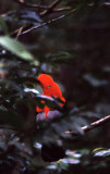 BIRD - COCK OF THE ROCK - PERU A.jpg