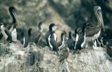 BIRD - CORMORANT - GUANAY - PARACAS C.jpg