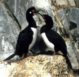 BIRD - CORMORANT - ROCK - ARGENTINA-BEAGLECHANNEL-SHAG4 (2).jpg