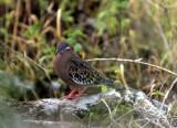 BIRD - DOVE - GALAPAGOS A.jpg
