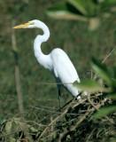 BIRD - EGRET -  GREAT - PANTANAL.jpg
