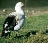 BIRD - GOOSE - ANDEAN - BOLIVIA A.jpg