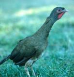 BIRD - GUAN - DUSKY LEGGED - PANTANAL A.jpg