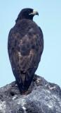 BIRD - HAWK - GALAPAGOS A.jpg