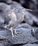 BIRD - HERON - LAVA - GALAPAGOS F.jpg