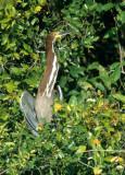 BIRD - HERON - TIGER - PANTANAL B.jpg