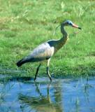 BIRD - HERON - WHISTLING - PANTANAL B.jpg