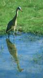 BIRD - HERON - WHISTLING - PANTANAL.jpg