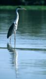 BIRD - HERON - WHITE NECKED - PANTANAL C.jpg