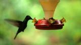BIRD - HUMMINGBIRD - GREEN CROWNED BRILLIANT - PANAMA.jpg