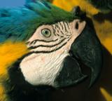BIRD - MACAW - BLUE AND YELLOW - PANTANAL A.jpg