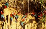 BIRD - MACAW - BLUE GREEN RED - MANU - MINERAL LICK D.jpg