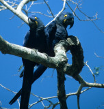 BIRD - MACAW - HYACINTH - PANTANAL C1.jpg