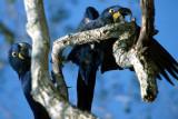 BIRD - MACAW - HYACINTH - PANTANAL G.jpg