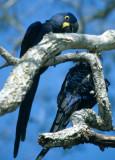 BIRD - MACAW - HYACINTH - PANTANAL L.jpg