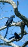 BIRD - MACAW - HYACINTH - PANTANAL.jpg