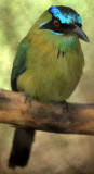 BIRD - MOTMOT-  BLUE CROWNED - BELIZE.jpg