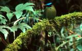 BIRD - MOTMOT-  BLUE CROWNED - PERU.jpg