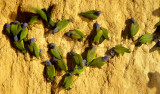 BIRD - PARROT - BLUE HEADED - MANU MINERAL LICK B.jpg
