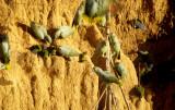 BIRD - PARROT - MEALY - MANU PERU E.jpg